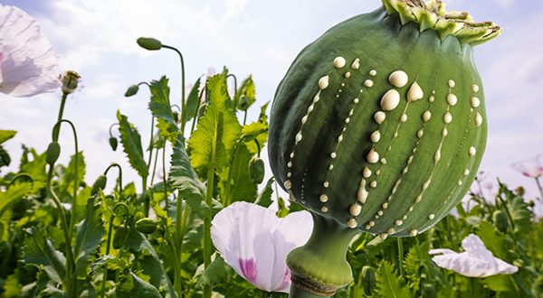 What are the symptoms of opium addicts